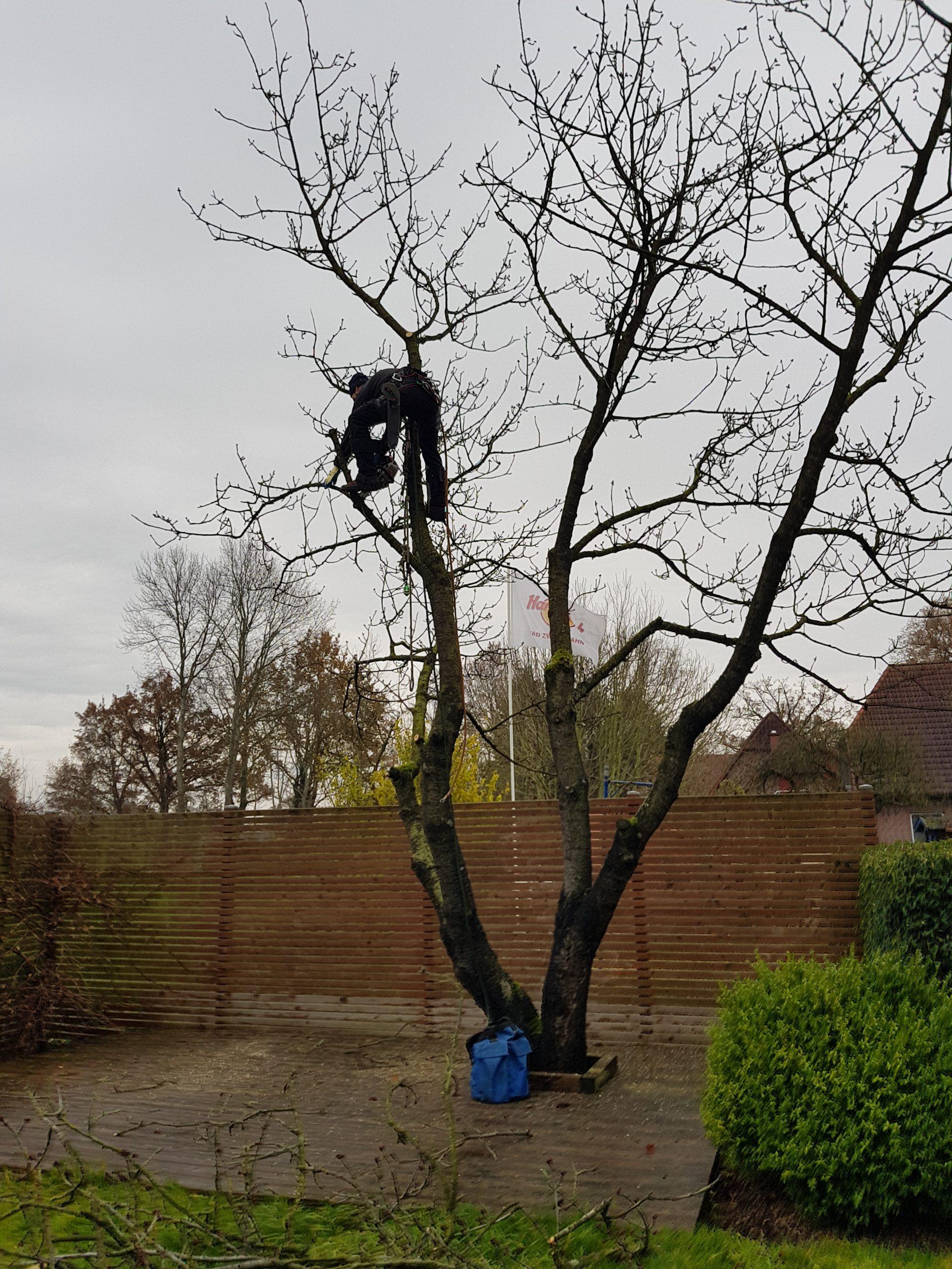 Der alte Kirschbaum war krank und musste leider gefällt werden